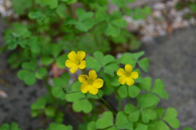 Yellow weed / Flower